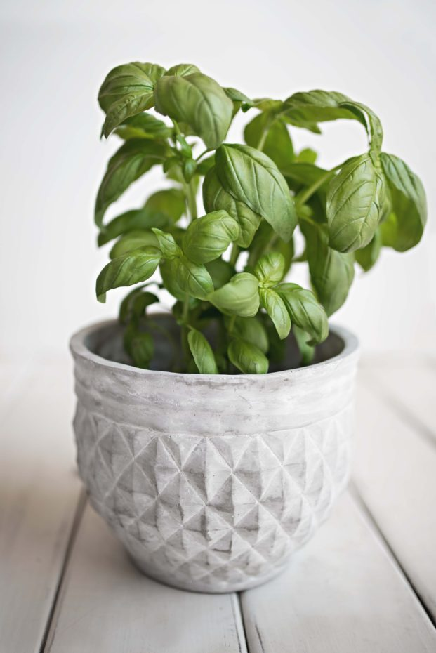 Add basil to your Portland natural herb medicine garden.